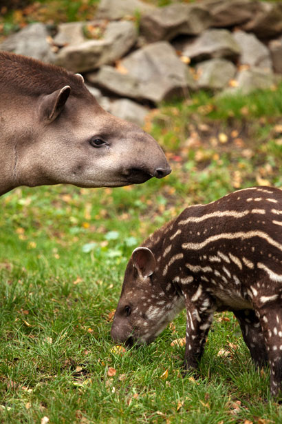 I included a random pic of a mamma tapir and baby because, well, I like tapirs.  They're both weird and cute!