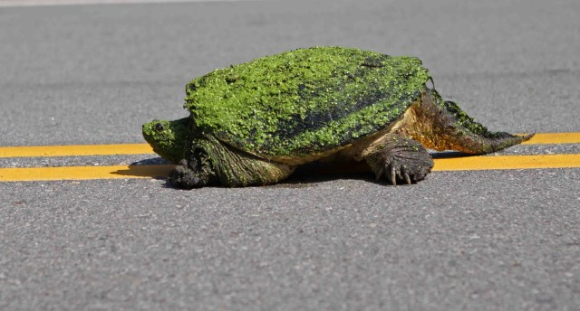 Turtle Crossing Street