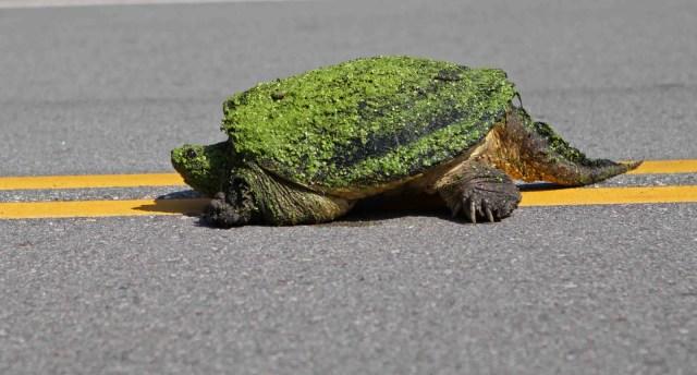 Turtle Crossing Street